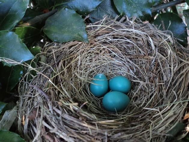 Vogelnest-blaue Eier_SNIP