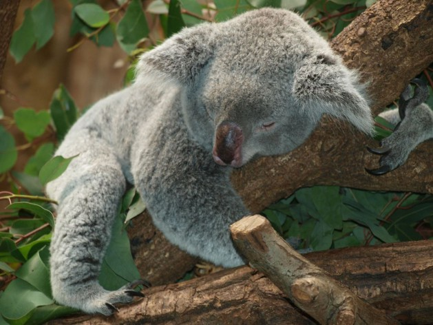 Koala-schlafend_SNIP_PixelAnarchy