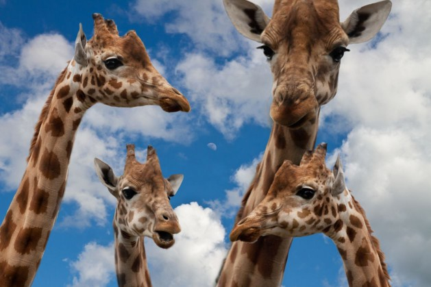 Giraffen-Diskussion_SNIP_Sponchia