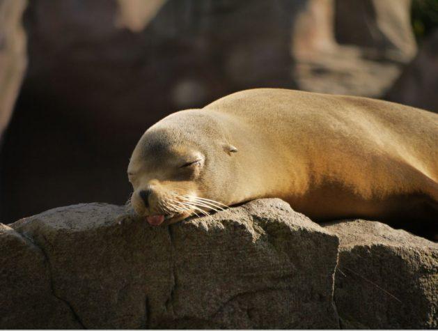 Seehund-2_seal-SNIP_smartart