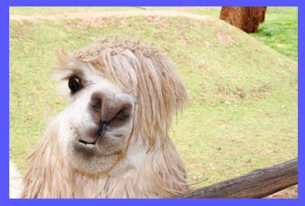 Lama-Alpaka_SNIP-3_1487912_candf53